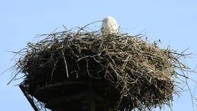 Cegonhas em um ninho vídeos de arquivo