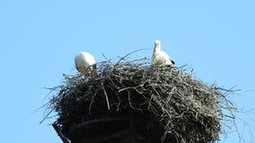 Cegonhas em um ninho em um telhado video estoque