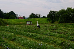 Cegonhas em uma caça rural do campo em rãs No trator do fundo e nas construções rurais Opinião bonita do país Foto de Stock