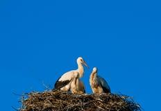 Cegonhas no ninho Foto de Stock