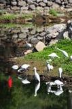 Cegonhas por um rio Imagem de Stock