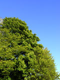 Cehstnut and beech trees. Chestnut and beech tree anginst a blue spring sky royalty free stock image