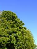 Cehstnut y árboles de haya Imagen de archivo libre de regalías