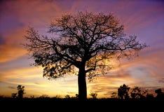 Ceiba. A majestic tree at a spectacular sunset, near Chichen Itza Pyramids Stock Photos