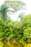 Ceiba Amazonica Or Kapok Tree Royalty Free Stock Photography