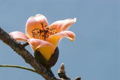 Ceiba Bombax Стоковое Фото
