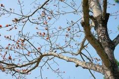 Ceiba. The close-up of bombax ceiba Stock Image