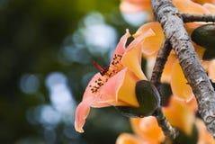 Ceiba del Bombax fotos de archivo libres de regalías