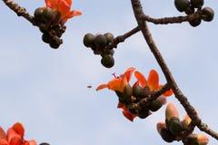 Ceiba et abeille de Bombax Image libre de droits