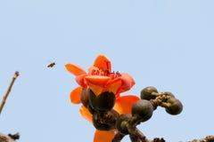 Ceiba et abeille de Bombax Image stock
