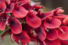 Ceiba flower (Erythrina Cristagalli) Stock Photo