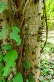 Ceiba or kapok tree (Ceiba Pentandra), Guatemala Royalty Free Stock Image