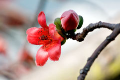 ceiba kwiaty zdjęcia stock