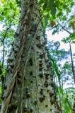 Ceiba ou sumaumeira (Ceiba Pentandra), Guatemala Imagem de Stock Royalty Free