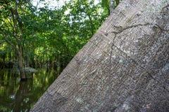Ceiba pentandra tree trunk in the Amazon Rainforest Stock Photography