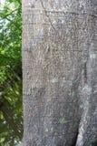 Ceiba pentandra tree trunk in the Amazon Rainforest Royalty Free Stock Photos