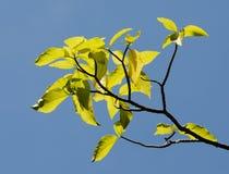 Ceiba pentandra tree. Under the blue sky Stock Photo