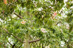 Ceiba Speciosa, или silk дерево зубочистки, субтропическое дерево с bott Стоковая Фотография