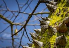 Ceiba speciosa - der Seidenglasschlackenbaum stockfoto
