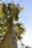 Ceiba Speciosa eller siden- flossträd, ett subtropiskt träd med bott Arkivbilder