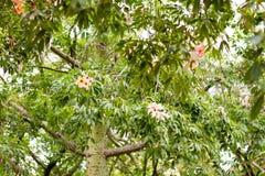 Ceiba Speciosa eller siden- flossträd, ett subtropiskt träd med bott Arkivbild