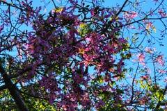 Ceiba speciosa flowers.  Stock Image