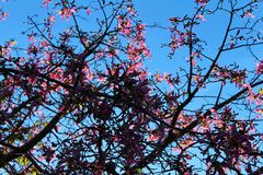 Ceiba speciosa flowers.  Royalty Free Stock Photo