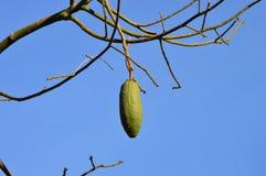 Ceiba speciosa Frucht Lizenzfreies Stockbild