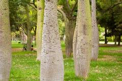 Ceiba Speciosa, o árbol de seda de la seda, un árbol subtropical con el bott Fotos de archivo