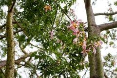 Ceiba Speciosa, o árbol de seda de la seda, un árbol subtropical con el bott Imagen de archivo