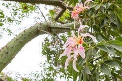 Ceiba Speciosa, o árbol de seda de la seda, un árbol subtropical con el bott Imágenes de archivo libres de regalías