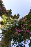 Ceiba Speciosa, o árbol de seda de la seda, un árbol subtropical con el bott Imagenes de archivo