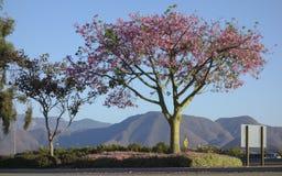 Ceiba Speciosa o albero di seta del filo di seta Immagine Stock