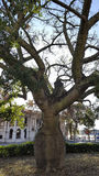 Ceiba speciosa oder betrunkener Stock Südamerika Lizenzfreies Stockfoto