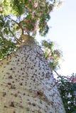 Ceiba Speciosa oder silk Glasschlackenbaum, ein subtropischer Baum mit bott Lizenzfreie Stockfotos