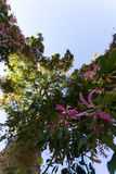 Ceiba Speciosa oder silk Glasschlackenbaum, ein subtropischer Baum mit bott Stockbilder