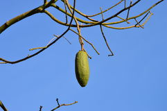Ceiba speciosa owoc Obraz Royalty Free