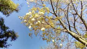 Drunken stick in bloom. Ceiba speciosa. Ceiba speciosa, popularly called palo borracho. Common names: bottle tree, toborochi, wool tree, pink stick, samohú stock photo