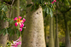 Ceiba Speciosa, or silk floss tree, a subtropical tree with bott Stock Photography