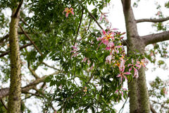 Ceiba Speciosa, or silk floss tree, a subtropical tree with bott Stock Image