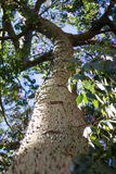 Ceiba Speciosa, or silk floss tree, a subtropical tree with bott Royalty Free Stock Image