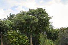 Ceiba speciosa trees. Ceiba speciosa tree in palermo, Italy royalty free stock image