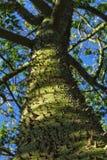 Ceiba speciosa trunk.  Royalty Free Stock Photography