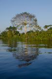 Ceiba tree beside Orinoco river. royalty free stock image