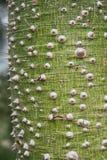 Ceiba tree. The Ceiba tree`s thorny trunk Royalty Free Stock Photos
