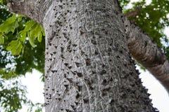 Ceiba tree texture Royalty Free Stock Photos