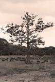 Ceiba viejo Imágenes de archivo libres de regalías