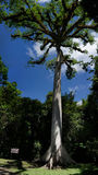 Ceibabaum in archäologischem Park Tikal stockfoto