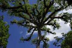 Ceibaboom in het archeologische park van Tikal Stock Foto's