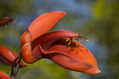 Ceibo flowers, Erythrina crista-galli. Stock Photo